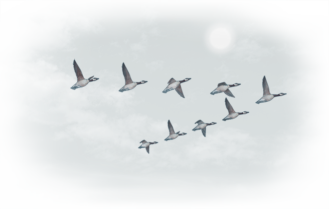Geese w660