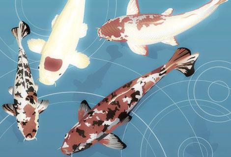 fish, koi, carp, four, orange, black, white, blue background